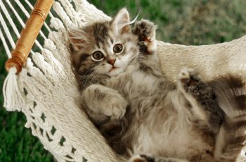 kitten in hammock British shorthair